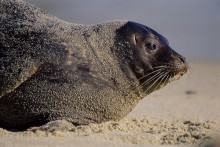 Prince of Tides - Harbor Seal