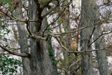 Forest Ghost - Red-Shouldered Hawk