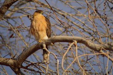 Morning Roost - Cooper's Hawk