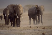 Rites of Passage - African Elephants