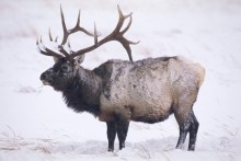 A South Wind - Bull Elk