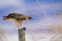 Ready for Takeoff - Red-Tailed Hawk