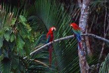 Voices of the Amazon - Red and Green Macaws