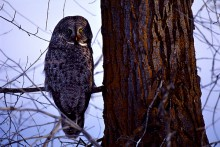 Eyes of the Forest - Great Gray Owl