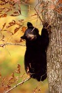 October's Oak - Black Bear
