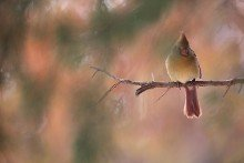 The Limb - Female Cardinal