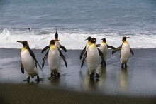 Day at the Beach - King Penguins