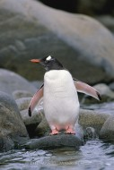 In the Pink - Gentoo Penguin