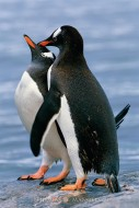 Gentoo Love - Gentoo Penguins