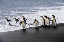 Surf's Up - King Penguins