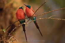 A Portrait - Carmine Bee-Eaters