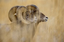 The Mating Season - Bighorn Sheep