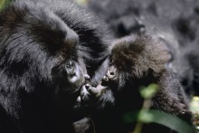 The Cherished One - Mountain Gorilla
