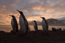 Southern Sentinels - King Penguins