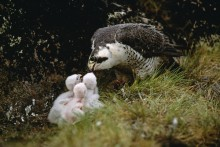 Treasure of the High Arctic - Peregrine Falcons
