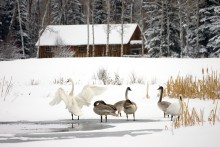 Time for Reflection II - Trumpeter Swans