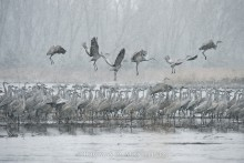 Ancient Journey - Sandhill Cranes