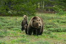 New Beginnings - Grizzly Bears