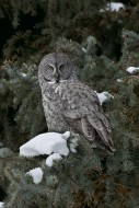 At the Forest's Edge - Great Gray Owl