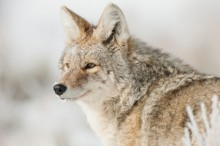 Frosty Morning - Coyote