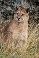 Wild Encounter - Puma