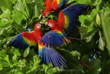 Jungle Color Wheel - Scarlet Macaws