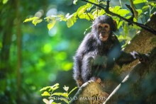 Light in the Jungle - Chimpanzee