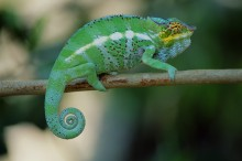 Walking the Line - Panther Chameleon