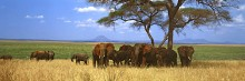 Acacia Shade - African Elephants