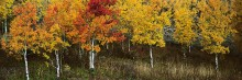 Indian Summer Aspens