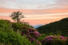 Blue Ridge Rhododendrons | Open Edition Art