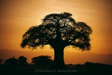 Baobab Sunset | Open Edition Art