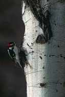 The Search - Downy Woodpecker