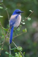Color of the Sky - Scrub Jay