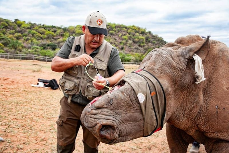 Dr. Johan Marais attends to a brave rhino who refuses to die